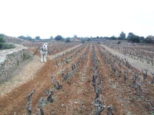 Vigne labourée au passe-partout